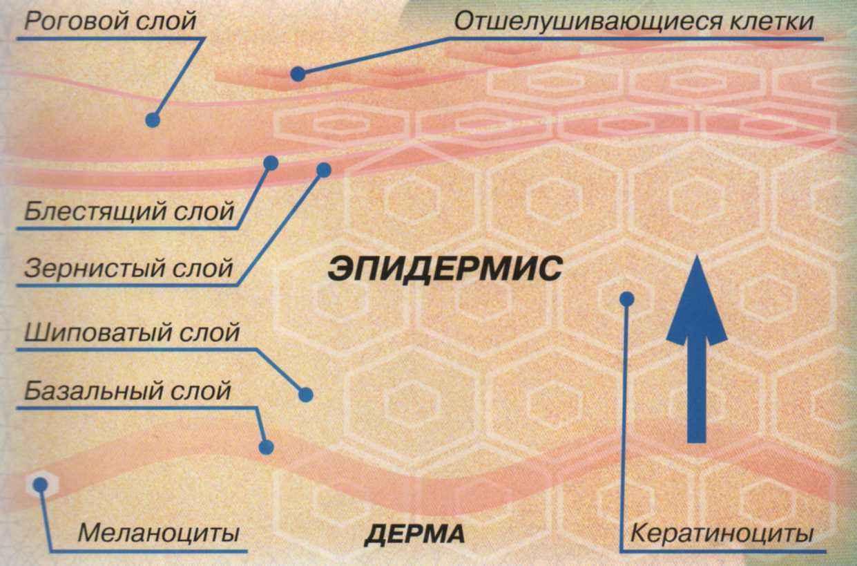 Компактный роговой слой защищает кожу от высыхания