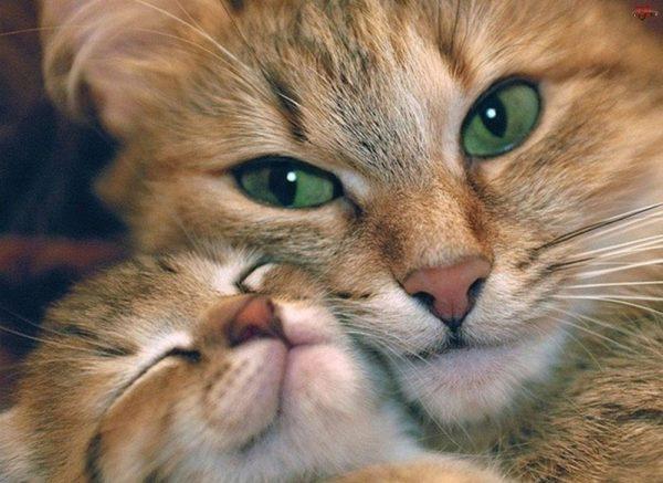 После рождения котят на первый план выходит материнский инстинкт