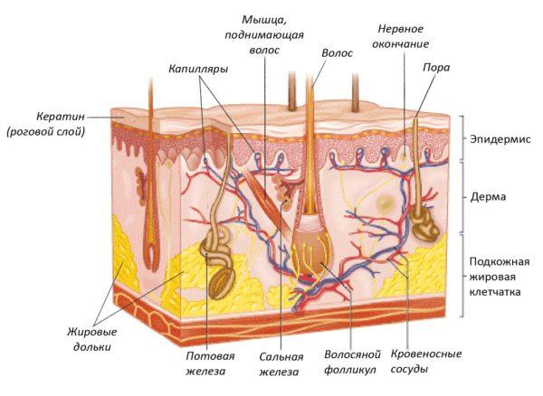 Строение верхнего слоя кожи