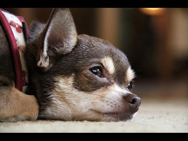 У собак чувствительная дерма, поэтому для большинства болезней питомцев характерен кожный синдром
