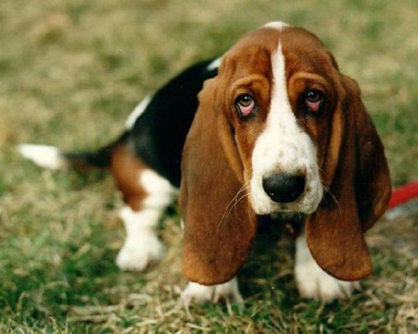 Породистые собаки находятся чаще
