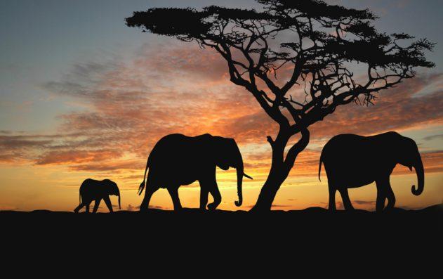 Слоны общаются друг с другом при помощи инфразвуковой сигнализации