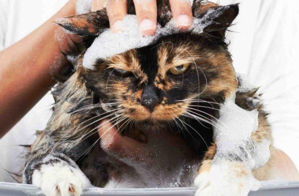 Периодичность купаний котов на выгульном содержании составляет 1 раз в 2 месяца