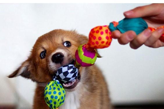 Играть и общаться с щенком нужно ежедневно и ни по разу
