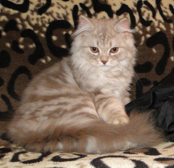 Длинношерстных котов следует купать во время линьки
