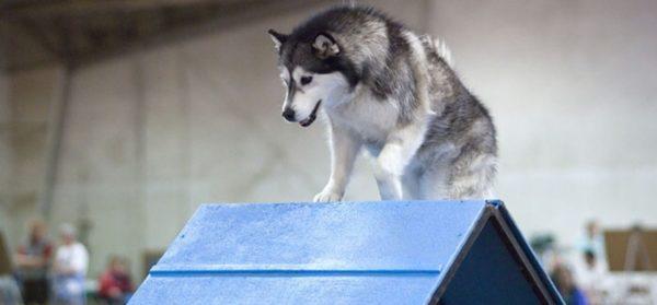 Собака, знающая базовые команды, может обучаться дальше, например, аджилити