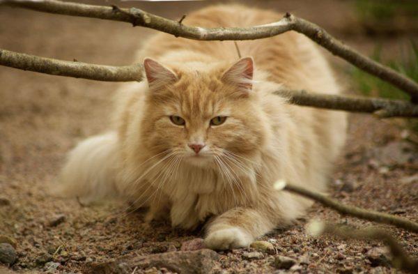 Кошки относятся к категории интеллектуально развитых животных