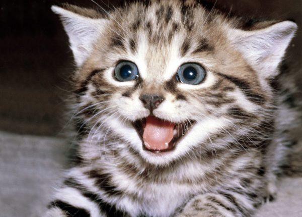 Коты обладают обширной галереей звуков