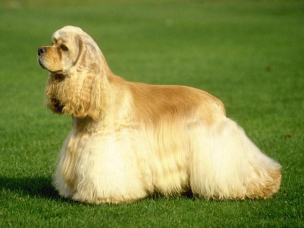 Для собак со шнуровым шерстным покровом купания обязательны