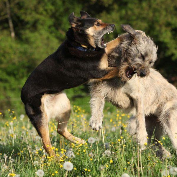 Одна из самых плохих привычек — нападение на других собак