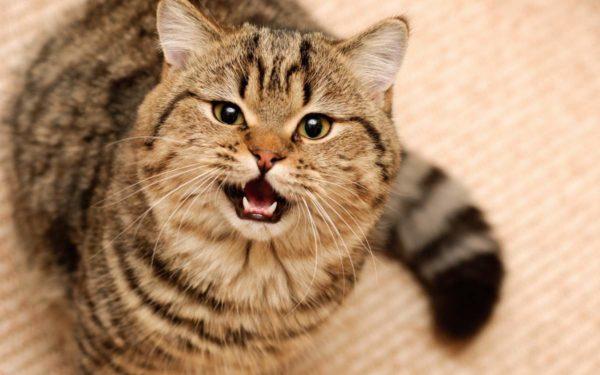 Мяукание считается наиболее характерной для кошки манерой общения с людьми