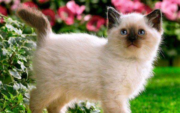 Для сиамских котят не рекомендовано использование средств для придания объема