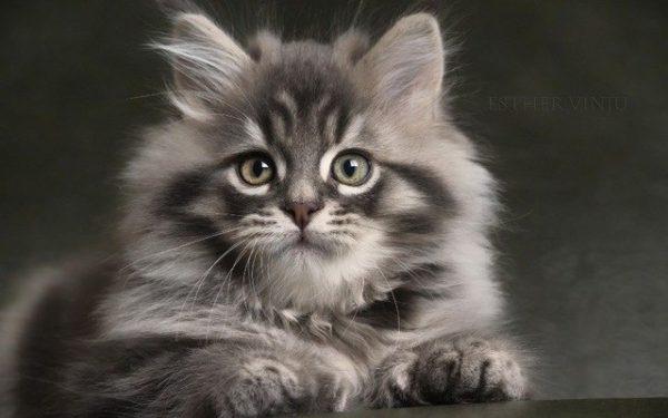 Как назвать кошку серую