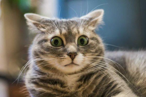 Как научить кота говорить