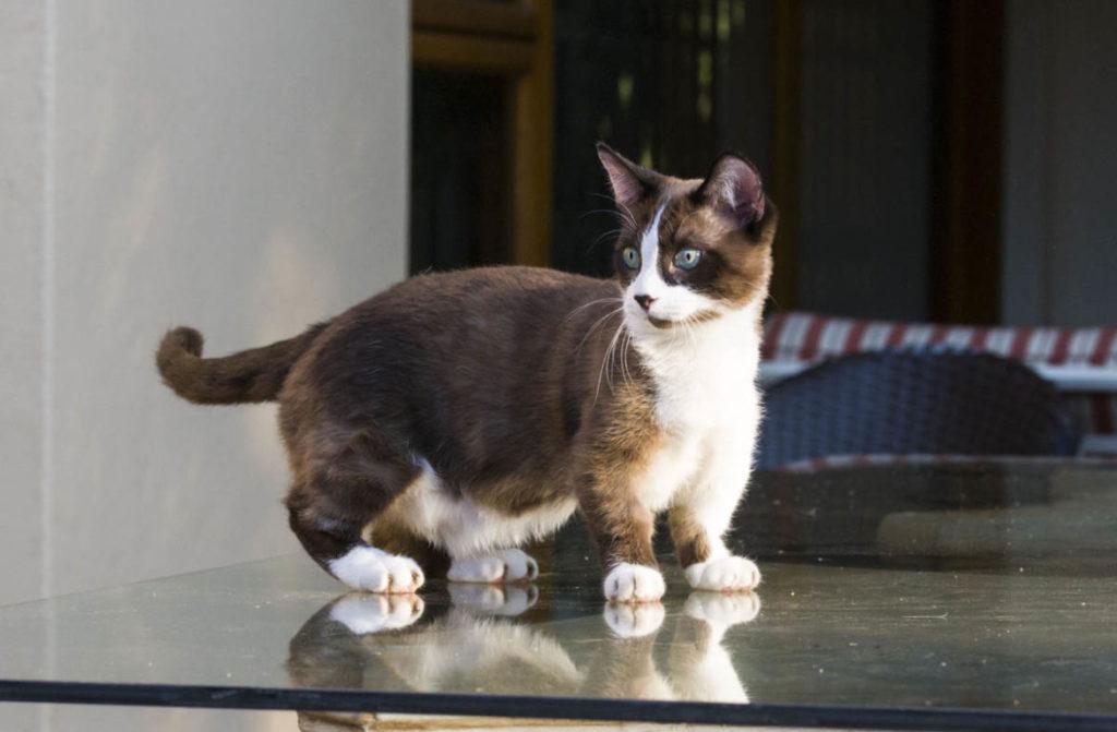 Манчкин: порода кошек