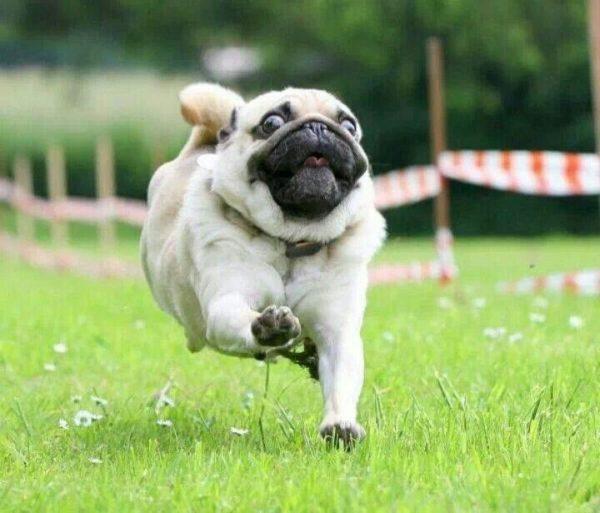 Мопс — собака-компаньон, любящая поиграть вместе с хозяином