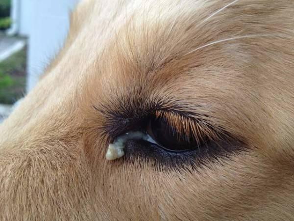 Бактериальные инфекции предполагают скопление гноя во внутренних уголках глаз