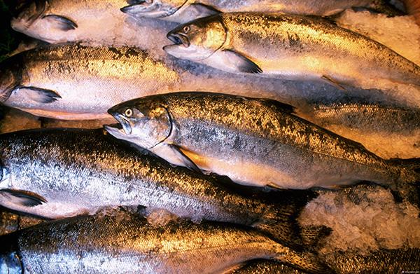 Безопаснее кормить Чихуахуа морской рыбой