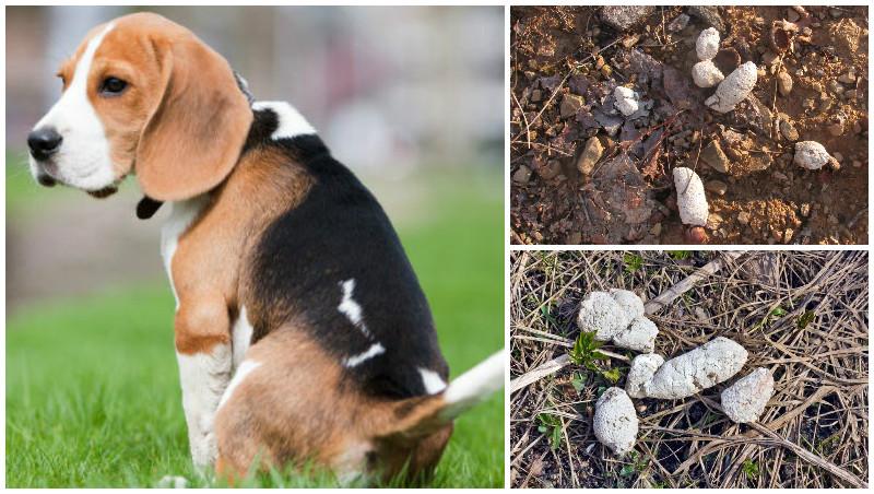 Белый кал у собак обыкновенно наблюдается в твердой форме
