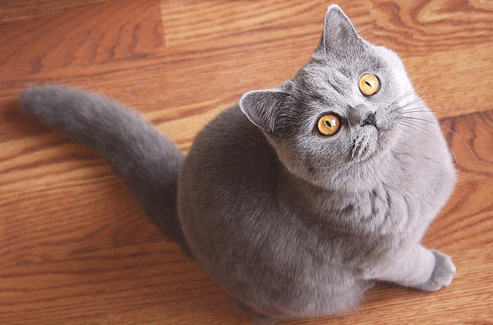 Британские кошки никогда не теряют своего достоинства