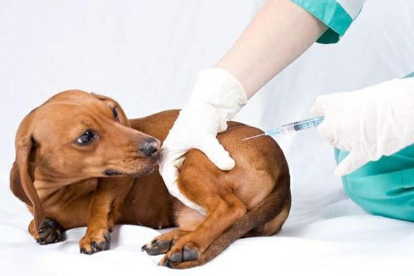 Вакцинация позволит хозяину собаки избежать появления симптоматики инфекционных болезней у своего питомца
