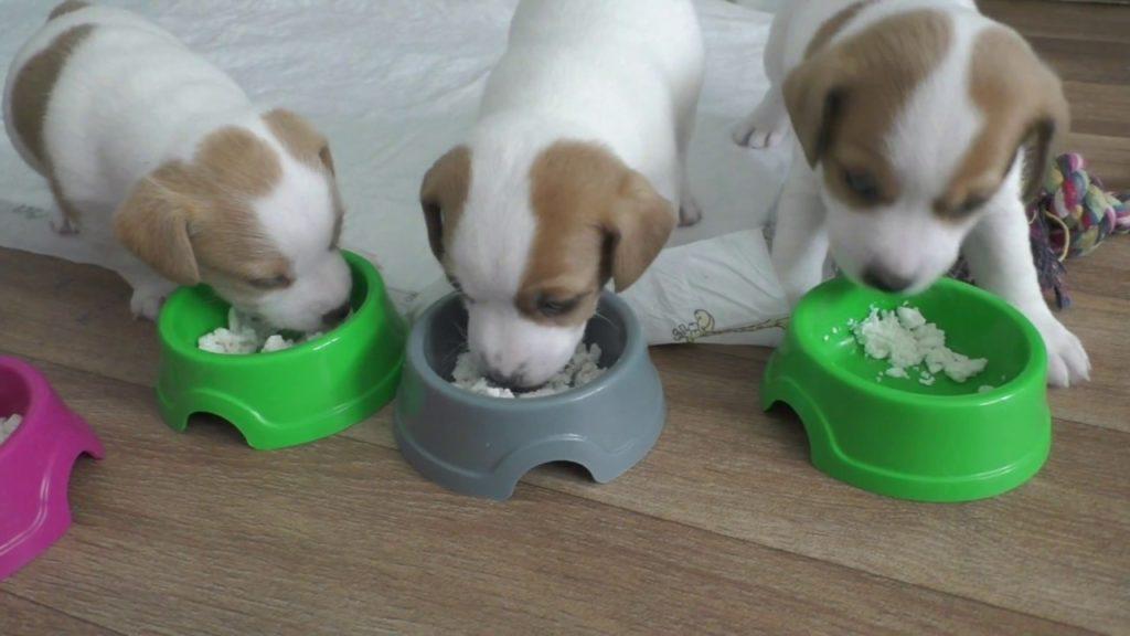 Витамины и микроэлементы, необходимые для роста, щенки получают в первую очередь из пищи