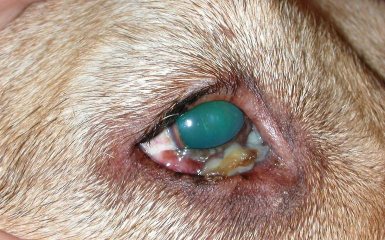 Выделения из глаз могут застигнуть собаку в любом возрасте