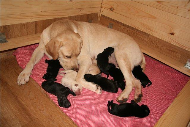 Вылизывая щенков, мать не только очищает их шерсть, но и заботится об улучшении работы кишечника детенышей