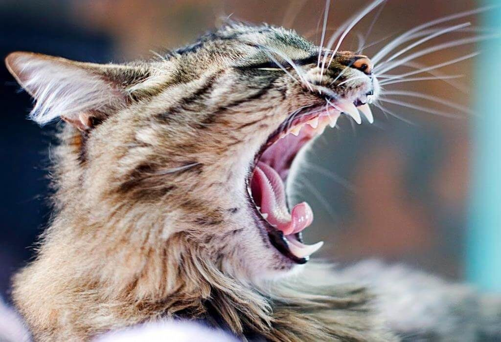 В норме кошачьи зубы должны иметь белый оттенок