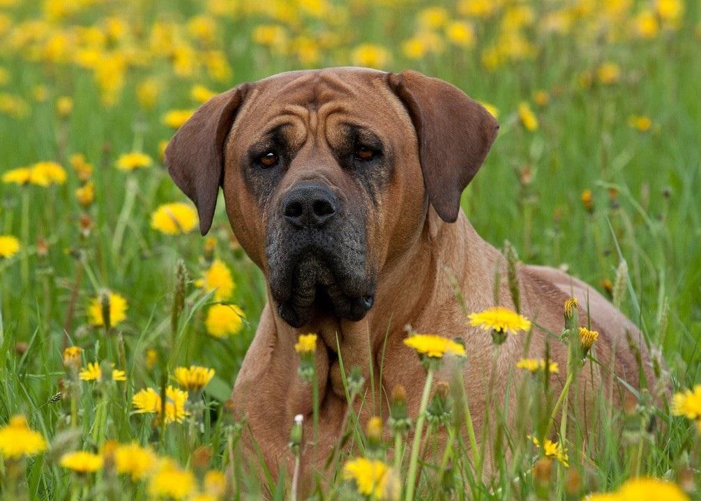 В отсутствии угрозы Тоса-Ину являются спокойными уравновешенными собаками