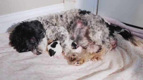 Когда рождение щенков значительно растягивается по времени, необходим контроль ветеринара