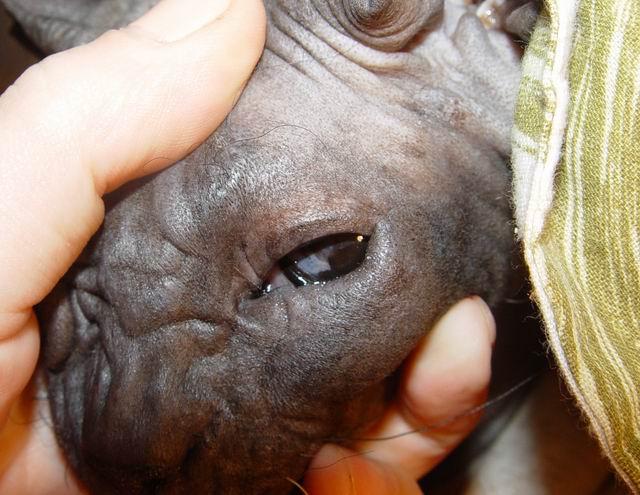 В среднем сфинксы страдают заворотом века чаще, чем прочие породы