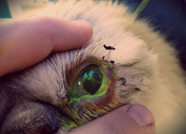 Глаз, закапанный флуоресцентным раствором