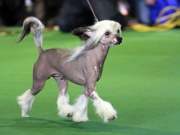 Голая Китайская хохлатая собака