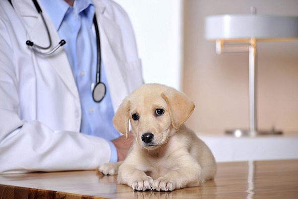 Дегельминтизацию необходимо осуществлять до первого выгула щенков