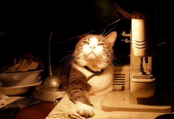 Для проверки наличия власоедов, кота необходимо подвести к источнику света
