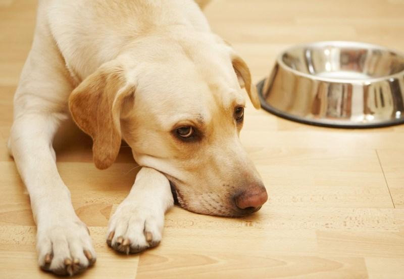 Для того, чтобы организм собаки очистился после отравления, важно не давать ей пищу в первый же день