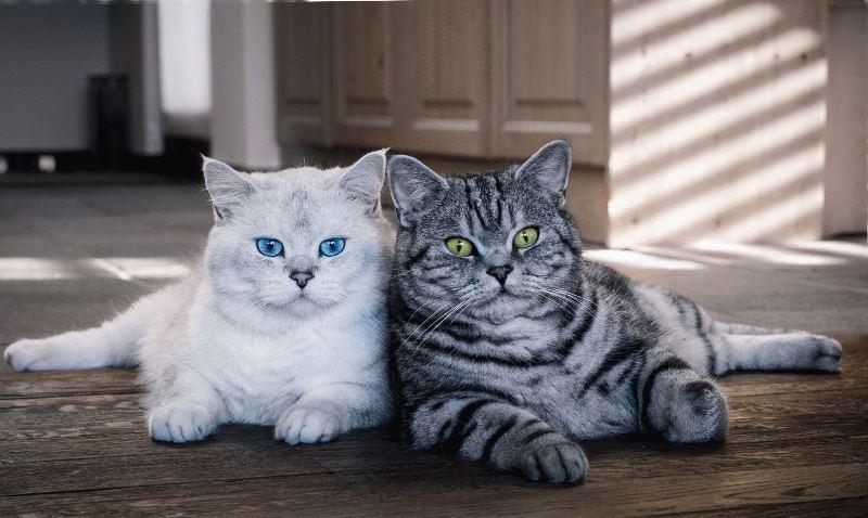 Для того, чтобы привыкнуть друг к другу кошкам требуется определенное время