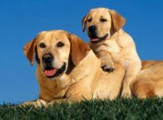 До какого возраста растут собаки