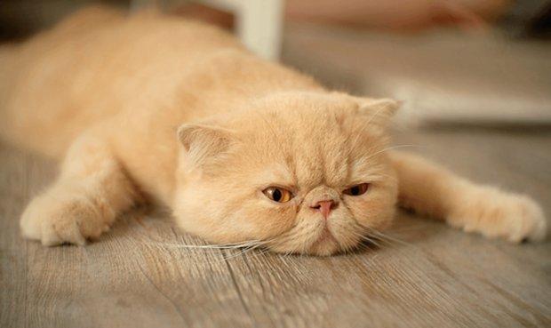 До наступления судорог кошки проходят несколько предварительных этапов, сказывающихся на их поведении