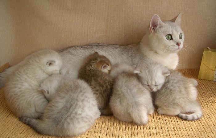 До трех месяцев котята продолжают испытывать потребность в присутствии матери