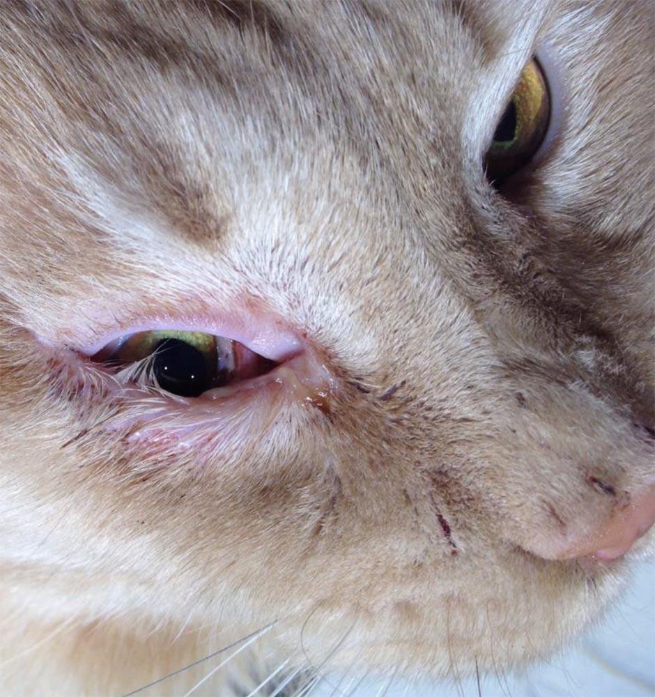 Заворот века может проявляться у кошек на склоне лет в результате ослабления организма