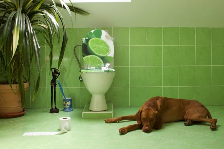 Заворот кишок не дает собаке вытолкнуть каловые массы