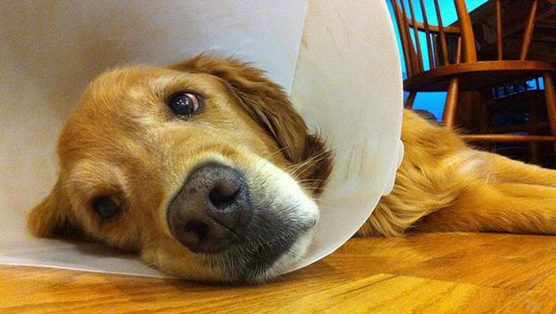 Защитный воротник не позволит собаке нанести дополнительные повреждения своему глазу