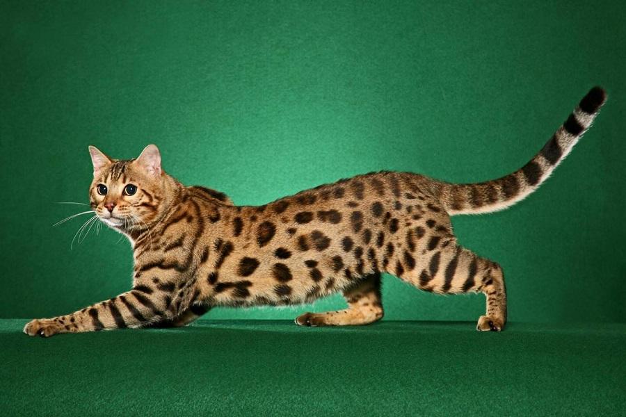 """Молодые коты обладают отличной пластикой тела и способны на различные """"акробатические"""" трюки"""