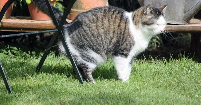 Зрелые коты сохраняют многие свои привычки и после кастрации