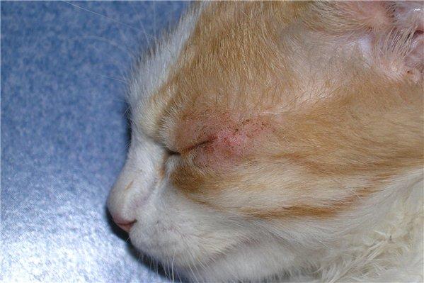 Изъязвление роговицы часто вызывает у кошек навязчивые попытки расчесать глаз