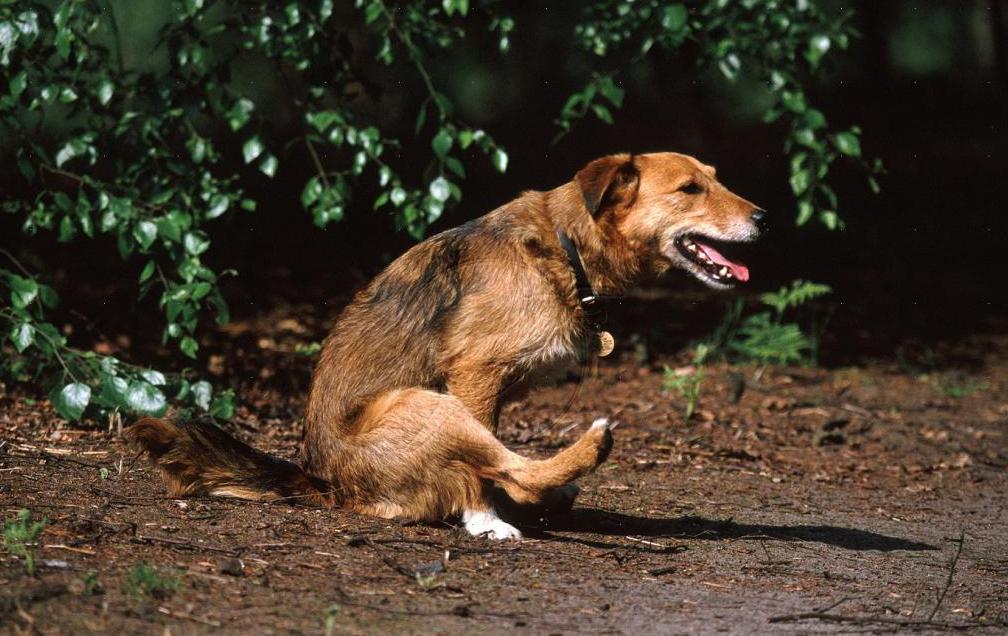 Из-за закупорки кишечника большим количеством глистов у собак часто происходит вздутие живота