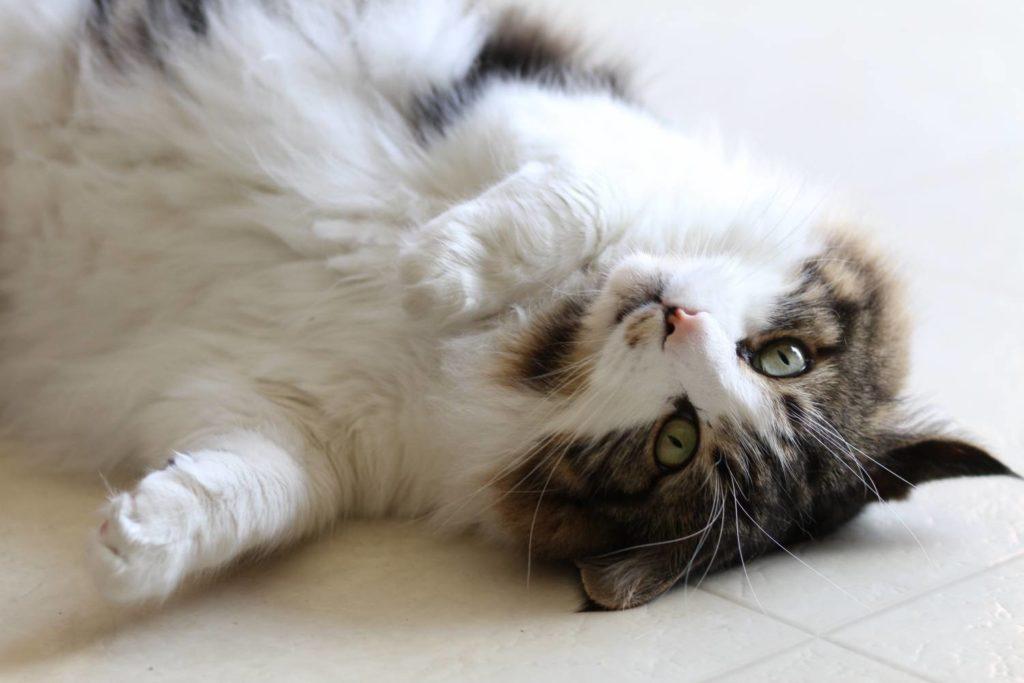 Иногда после случившегося выкидыша кошка теряет возможность вновь забеременеть