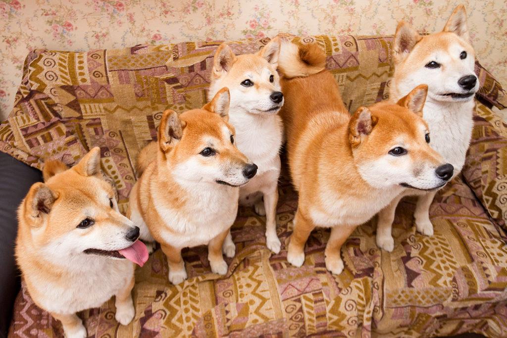 Как и Акито-ину, собаки Шиба-ину чаще всего встречаются в рыжей расцветке